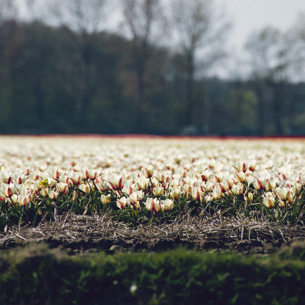 Champs de tulipes, Keukenhof